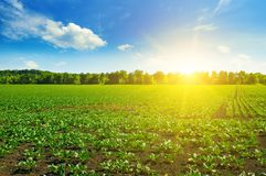 Grüne Rübenfelder und blauer Himmel Stockbilder