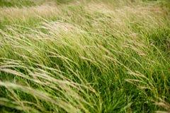 Grüne Rasenflächen lehnen sich im Wind Stockfotografie