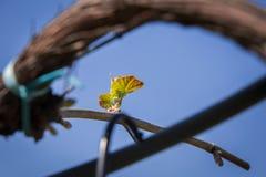 Grüne Rebe mit kleinen Weintrauben stockfoto