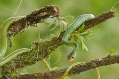 Grüne Rebe-Schlange lizenzfreie stockbilder