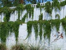 Grüne Reben auf einer abgestuften weißen Wand Stockbild