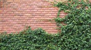 Grüne Reben oder Ficus pumila auf alter Beschaffenheitsbacksteinmauer Stockbild