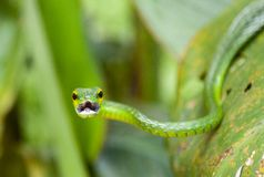 Grüne Rebschlange, Costa Rica stockfoto