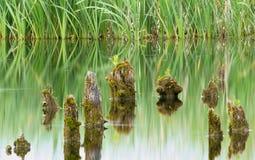 Grüne Reflexion des Sees mit Stelzen und Gras Lizenzfreies Stockfoto