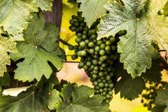 Grüne reifende Trauben Unreife grüne Bürste von Trauben Stockfotos