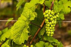 Grüne reifende Trauben Unreife grüne Bürste von Trauben Lizenzfreies Stockfoto