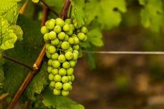 Grüne reifende Trauben Unreife grüne Bürste von Trauben Stockfotografie