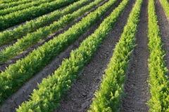 Grüne Reihen auf dem Karottenfeld Stockfotografie