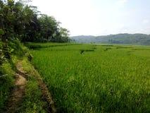 Grüne Reis vilages Stockfotografie