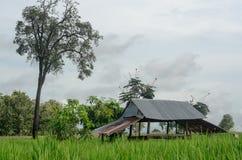 Grüne Reisfelder im Ackerland auf Berg Thailand Stockbilder