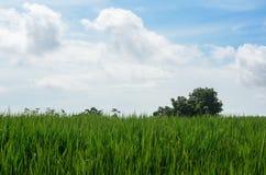 Grüne Reisfelder im Ackerland auf Berg Thailand Stockfotografie