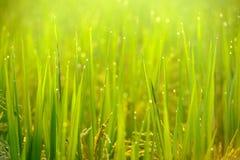 Grüne Reisfelder morgens Stockbild