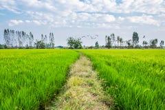 Grüne Reisfelder und Mengen des Vogelfliegens Lizenzfreies Stockbild