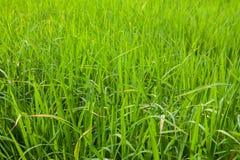 Grüne Reisfeldnahaufnahme Stockfoto