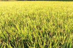 Grüne Reispflanze Stockfoto