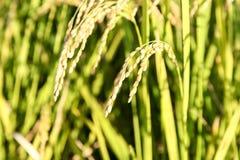 Grüne Reispflanze Stockbild