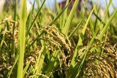 Grüne Reispflanze Lizenzfreie Stockfotos