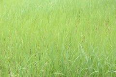 Grüne Reispflanze im Ackerland an ländlichem Stockbilder
