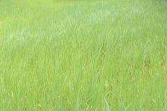 Grüne Reispflanze im Ackerland an ländlichem Lizenzfreies Stockfoto