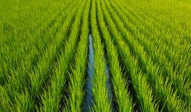 Grüne Reissprösslinge, sogar Reihen von Anlagen lizenzfreies stockfoto