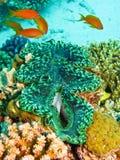 Grüne riesige Muschel Stockbilder