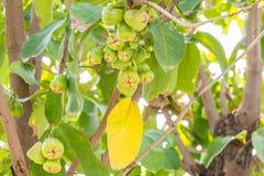 Grüne Rose Apple Eugenia spp Auf dem Baum Stockbild