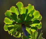 Grüne Rosette von Aeonium Stockbilder