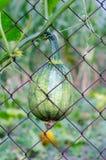 Grüne runde Zucchini im Gartenabschluß oben stockfotografie