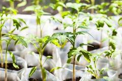 Grüne Sämlinge der Tomatenpflanze in den Kunststoffrohren Stockbilder