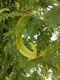 Grüne Süßhülsenbaum-Hülsenfrüchte Stockbild