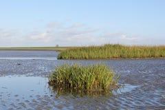 Grüne Salzwasser Halophytes niedrig auf dem Gezeiten- Sumpf im Frühjahr stockfotografie