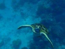 Grüne Schildkröte Lizenzfreie Stockfotos