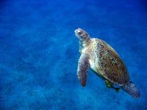 Grüne Schildkröte Lizenzfreies Stockbild