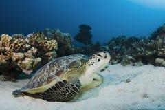 Grüne Schildkröte Lizenzfreies Stockfoto