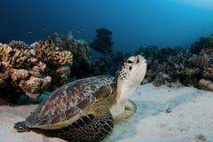 Grüne Schildkröte Stockbilder