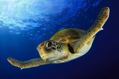 Grüne Schildkröte Stockfotos