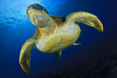 Grüne Schildkröte Lizenzfreie Stockbilder