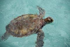 Grüne Schildkröte Stockfotografie