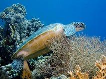 Grüne Schildkröte auf Koralle Stockbild