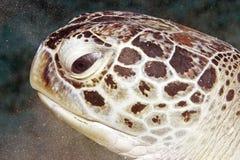 Grüne Schildkröte (Chelonia mydas) Stockfotografie