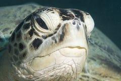 Grüne Schildkröte (Chelonia mydas) Lizenzfreies Stockbild