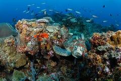 Grüne Schildkröte (Chelonia mydas) im tropischen Riff Lizenzfreie Stockfotografie