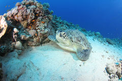 Grüne Schildkröte (Chelonia mydas) stillstehend im Riff Stockbild