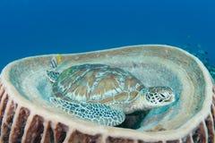 Grüne Schildkröte (Chelonia mydas) stillstehend im songe Lizenzfreie Stockfotos