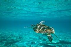 Grüne Schildkröte in der Natur Lizenzfreies Stockfoto