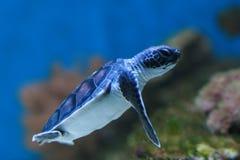 Grüne Schildkröte des Schätzchens Lizenzfreies Stockbild