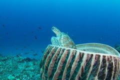 Grüne Schildkröte, die in einem Faßschwamm sitzt Stockbilder