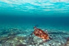 Grüne Schildkröte im karibischen Meer Stockfotografie