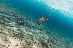 Grüne Schildkröte im karibischen Meer Stockbilder
