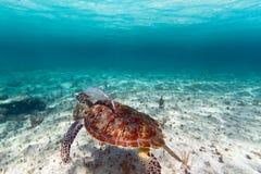 Grüne Schildkröte im karibischen Meer Lizenzfreie Stockfotos
